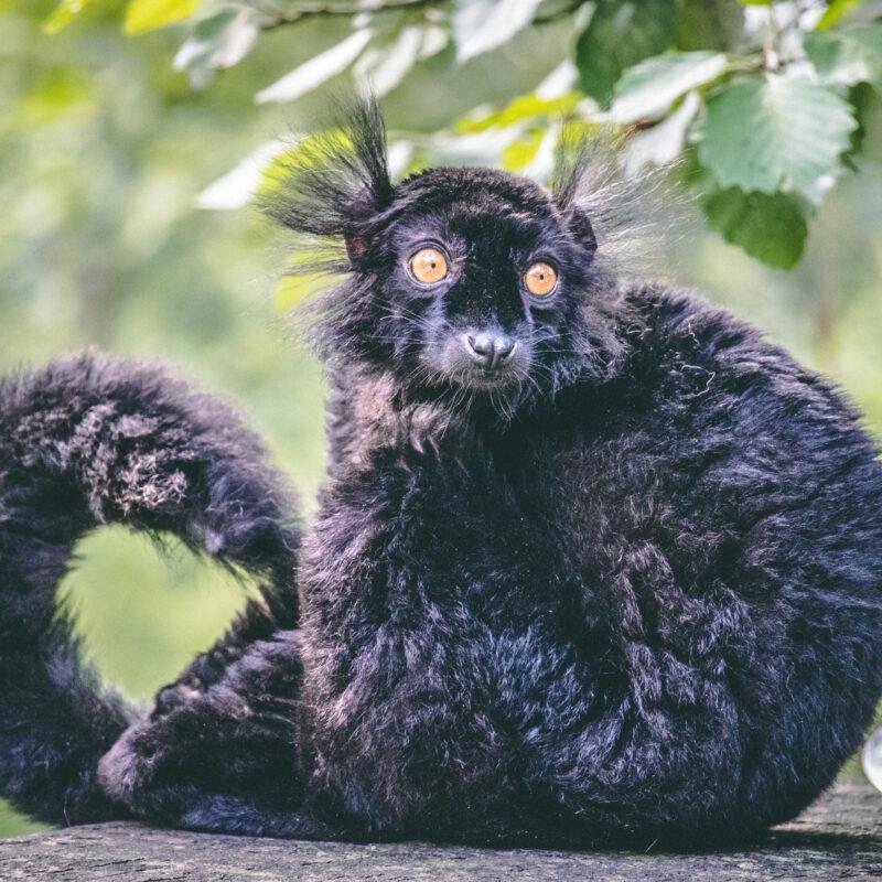 Sort lemur