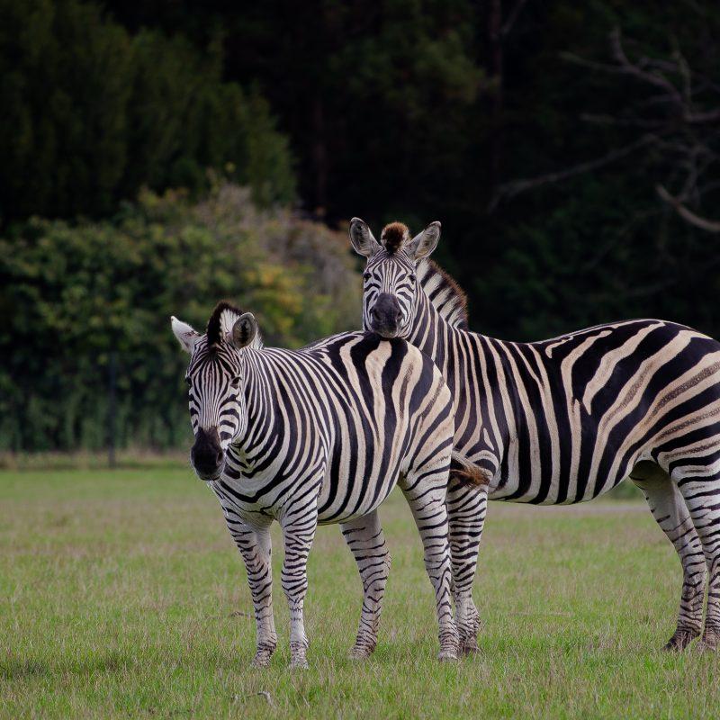 To zebraer